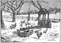 Chickens feeding  in the snow